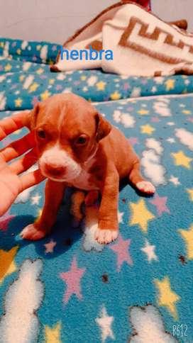 Pitbull Stanford terrier