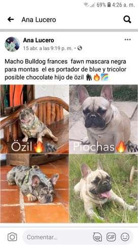 Para monta bulldog frances
