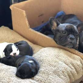 lindos bulldog frances de 60 dias con certificado y vacunas