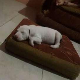 Vendo pitbull de 2 meses