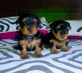 Hermosos  cachorros disponibles