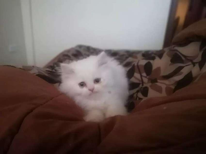 Gatitos persa de 2 meses 0