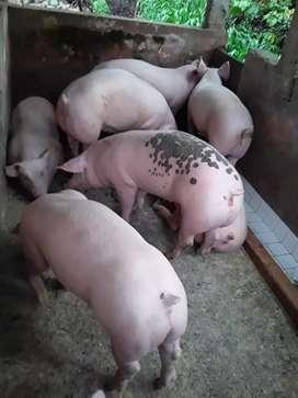 Cerdos 90 y 100 kl