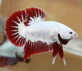 Pez betta red dragon