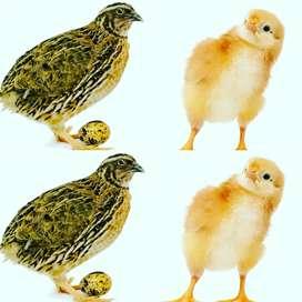 Codornices hembras y pollos de campo