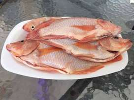 Vendo Tilapia roja al por mayor