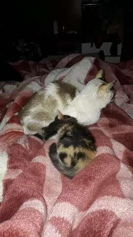 En adopcion gatitos