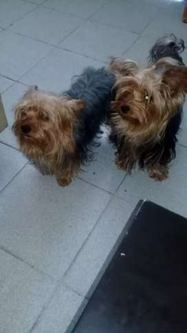 HERMOSA YORKY YORSHIRE TERRIER