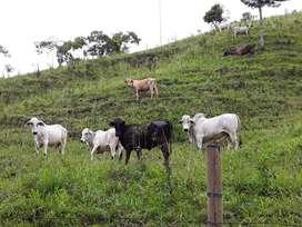 vendo vacas con terneros hembras y machos