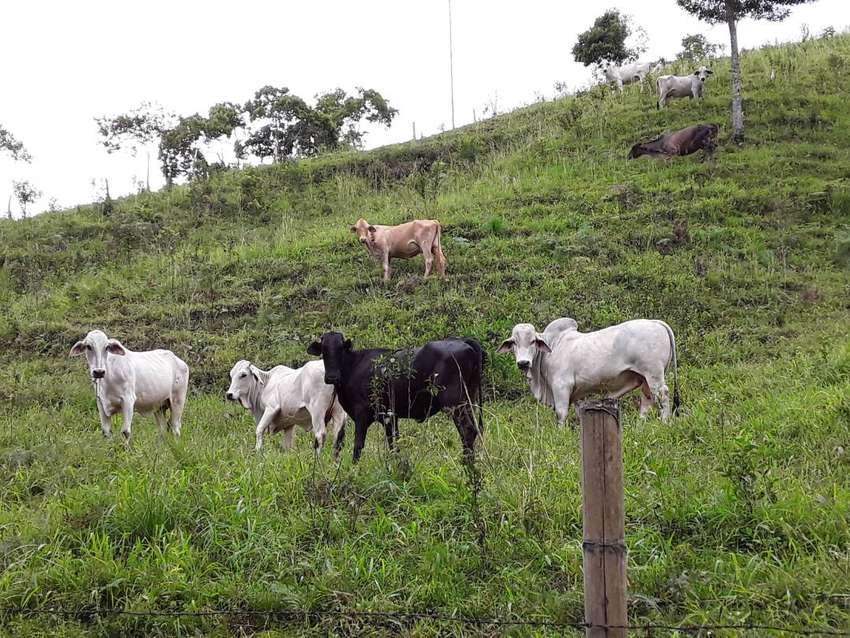 vendo vacas con terneros hembras y machos 0