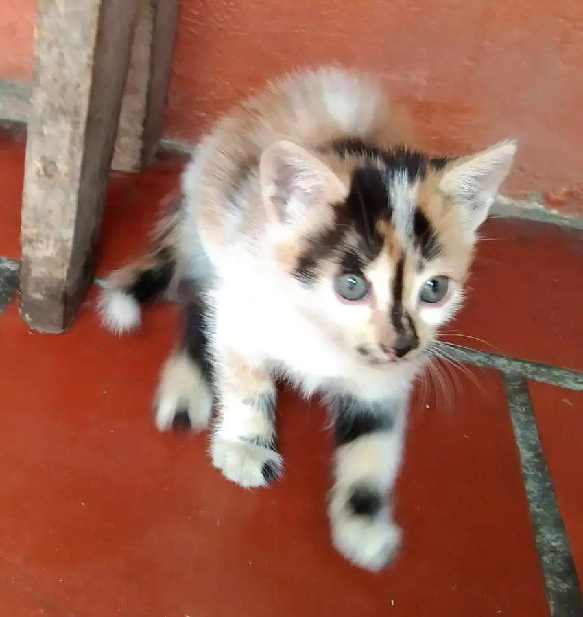 Gatos calicø