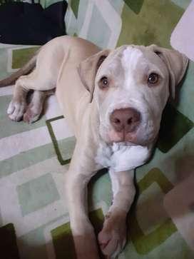 Pitbull cachorro