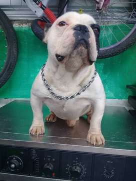 De Oportunidad Vendo Semental Bulldog Frances Linea USA
