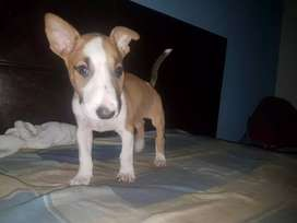 Parvovirus distemper quimioterapias pit dogo sharpei bull dog doberman rot bully fusión mastín husky