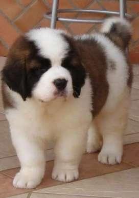 Vendo mi cachorro San Bernardo vacunado y desparasitado