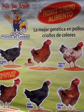 Pollo criollo
