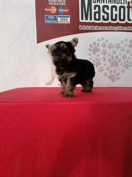 Miniatura de yorkshire terrier hembrita de 60 días de edad