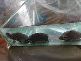 Vendo  3 tortuguitas pequeñas