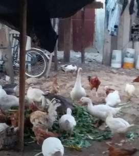Remate de Patos Ganzos $ 40...