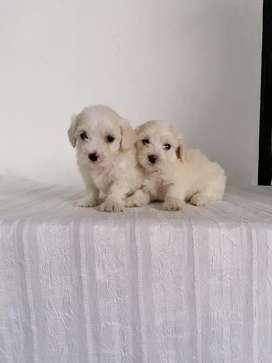 Encantadores french poodle toys de 53 días de edad