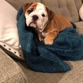 bulldog 56 dias bulldog ingles