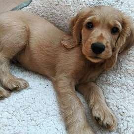 Hermosos y cariñosos perritos de 46 días de nacidos
