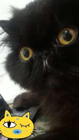 Gato Persa negro para montas