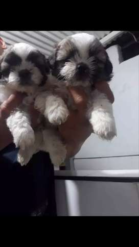 Hermosos cachorros shih tzu miniaturas