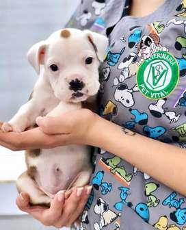 Boxer cachorrito Legitimo en Pet Vital Peru