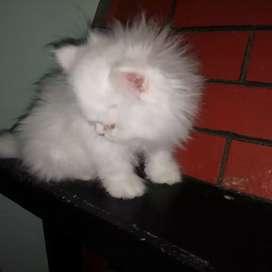 gatitos persa excelente calidad