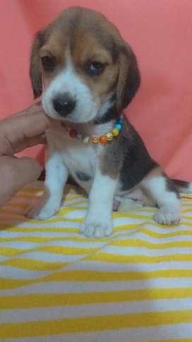 Paticascortas Beagles13pulgadaa