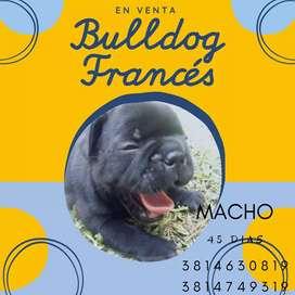 Vendo cachorros Bull Dog Frances
