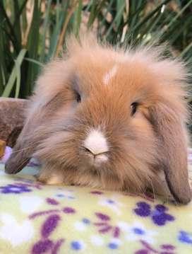 Conejo Lion Lop orejas caidas caramelo