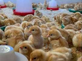 pollos frances