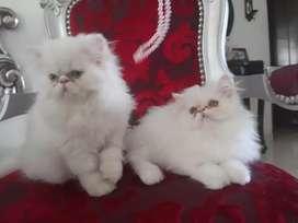 Vendo hermosos gatos persas...
