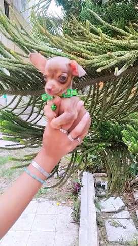 Hermosos mini pinscher con chihuahua
