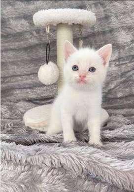 tiernos gatitos angora turco de color enteramente blanco con ojos azules y verdes