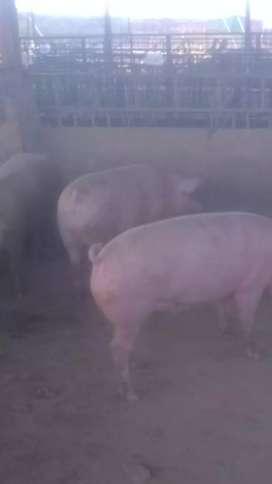Cerdos de engorde para faenar