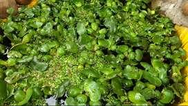Jacinto de agua (Eichhornia crassipes) planta acuática