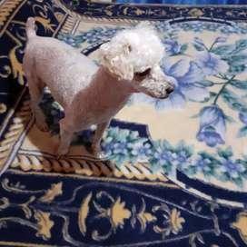 Busca novia caniche mini toy