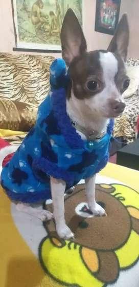 Chihuahua toy para Monta