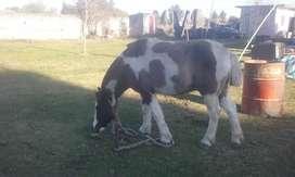 vendo caballo tobiano