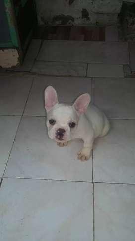 Bulldog franses  pie de faun  de tres meses