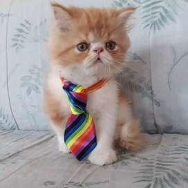 Gatos persa de 2 meses