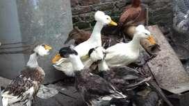 Vendo 12 patos chilenos 2 gsnzas y 20 patas comunes poniendo