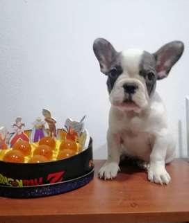 Se vende bulldog francés pied Merli