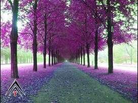 Semillas Paulownia elongata kiri rapido crecimiento bonsai jardín reforestacion madera diseño ornamental x 200 TK620