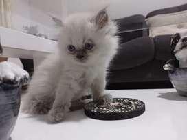 Hermosos gaticos persas disponibles