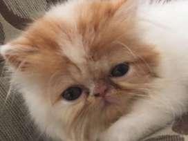 Hermoso gatito persa color blanco con naranja