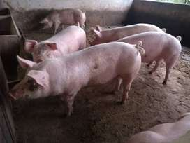 se venden cerdos gordos
